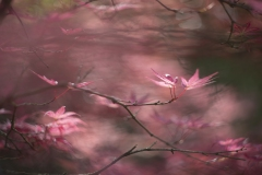 Japanese_maple-2-1