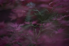 Japanese_maple-3-1